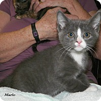 Adopt A Pet :: Marlo - Dover, OH