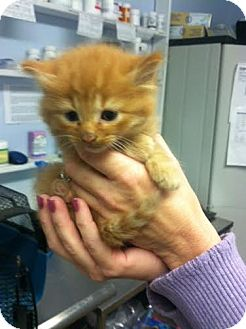 Domestic Shorthair Kitten for adoption in Darlington, South Carolina - Tom