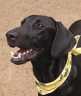 Labrador Retriever/Hound (Unknown Type) Mix Dog for adoption in Cross Roads, Texas - Maverick