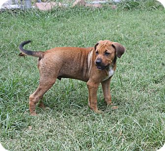 Labrador Retriever/Shepherd (Unknown Type) Mix Puppy for adoption in Marion, Arkansas - Hogan-PENDING!