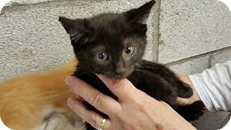 Domestic Shorthair Kitten for adoption in Irwin, Pennsylvania - Pudgy