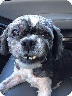 Shih Tzu Dog for adoption in Lehigh, Florida - Ruby