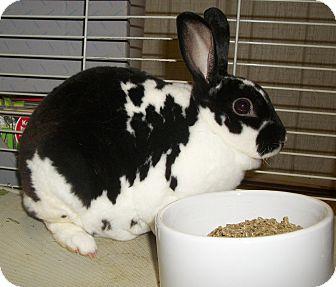 Mini Rex for adoption in Warren, Michigan - Polkee