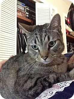 Domestic Shorthair Cat for adoption in Tampa, Florida - Luke