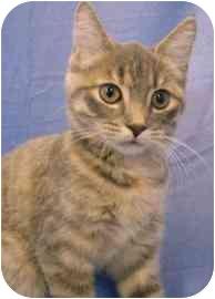 Domestic Shorthair Kitten for adoption in Walker, Michigan - kadi