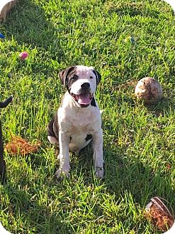 American Bulldog Puppy for adoption in Norwood, Georgia - Wesson