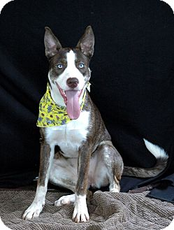 Husky Mix Dog for adoption in West Springfield, Massachusetts - Izzy