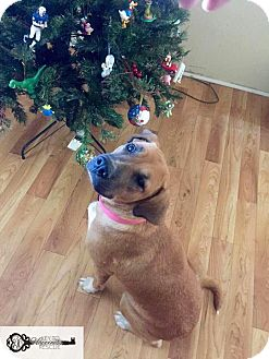 Boxer Mix Dog for adoption in DeForest, Wisconsin - Riley