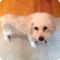 Adopt A Pet :: Coco - Grafton, MA