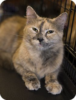 Domestic Longhair Cat for adoption in Charlotte, North Carolina - A..  Blondie