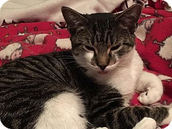 Domestic Shorthair Cat for adoption in Middleton, Wisconsin - Ivy