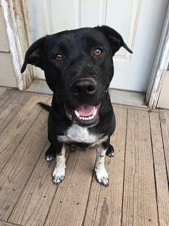 Labrador Retriever/Pointer Mix Dog for adoption in Fort Collins, Colorado - Roxy