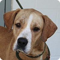 Labrador Retriever Mix Dog for adoption in Harrisonburg, Virginia - Chance