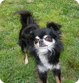 Chihuahua Dog for adoption in Ashland, Virginia - Daniel-ADOPTED!!!