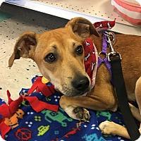 Adopt A Pet :: Anna-adoption pending - Schaumburg, IL