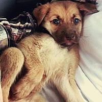 Adopt A Pet :: Jade puppy Opie- 17- Adoption Pending - Lithia, FL