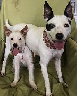 Rat Terrier/Jack Russell Terrier Mix Dog for adoption in Dallas, Texas - Brandy & Buttons