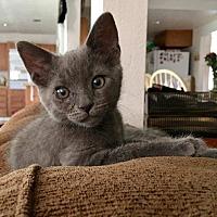 Adopt A Pet :: HERCULES - Diamond Bar, CA
