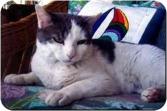 Domestic Shorthair Cat for adoption in Jenkintown, Pennsylvania - Curly