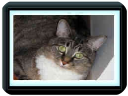Domestic Shorthair Cat for adoption in Spruce Grove, Alberta - Roxie