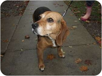 Beagle Dog for adoption in Paris, Illinois - Ginger