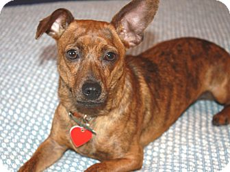 Dachshund/Chihuahua Mix Puppy for adoption in Los Angeles, California - Leylah - I'm a Chiweenie!