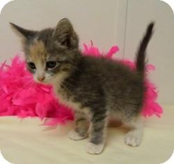 Domestic Shorthair Kitten for adoption in Columbus, Nebraska - Miley