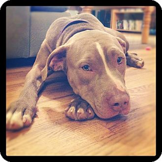 American Pit Bull Terrier Mix Dog for adoption in Dayton, Ohio - Grace