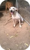 Labrador Retriever Mix Dog for adoption in Harrisonburg, Virginia - Nellie ($50 off)