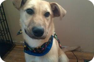 Shepherd (Unknown Type)/Labrador Retriever Mix Dog for adoption in Saskatoon, Saskatchewan - Sylvie