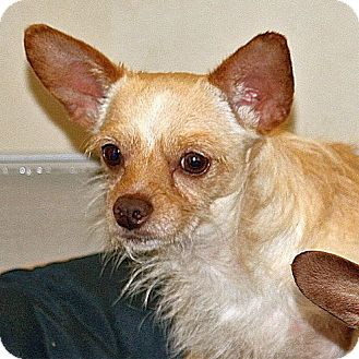 Chihuahua Dog for adoption in Berkeley, California - Oliver