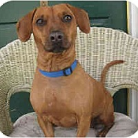 Dachshund Mix Dog for adoption in Encino, California - Hillary