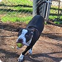 Adopt A Pet :: Boss - Athens, GA