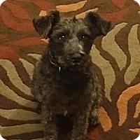 Adopt A Pet :: Capri - Chandler, AZ
