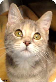 Calico Kitten for adoption in Key Largo, Florida - Callie