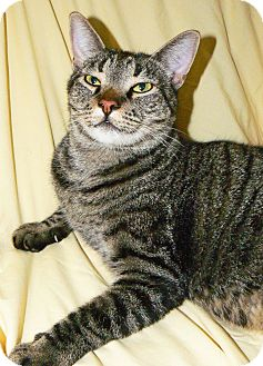 Domestic Shorthair Cat for adoption in Converse, Texas - Tuffy