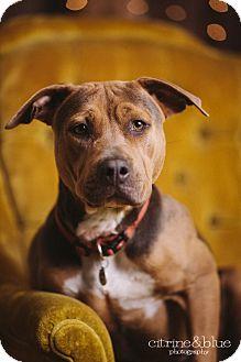 Pit Bull Terrier/Beagle Mix Dog for adoption in Portland, Oregon - Kati