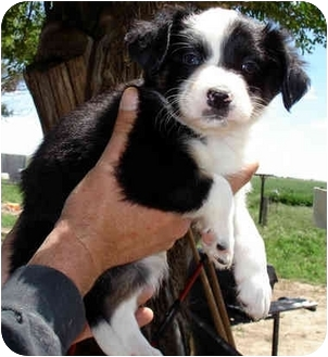 Border Collie Mix Puppy for adoption in Leoti, Kansas - Nicky II