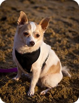 Papillon/Chihuahua Mix Dog for adoption in Orange, California - Princess