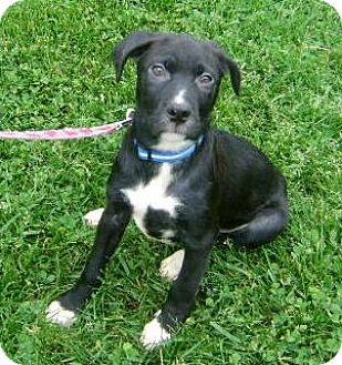 Labrador Retriever Mix Puppy for adoption in New Oxford, Pennsylvania - Parker