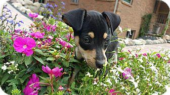 Miniature Pinscher/Chihuahua Mix Puppy for adoption in China, Michigan - Austin