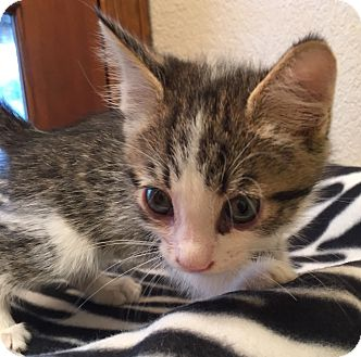Domestic Shorthair Kitten for adoption in Fountain Hills, Arizona - TWAIN
