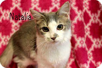 Domestic Mediumhair Kitten for adoption in Wichita Falls, Texas - Natalia
