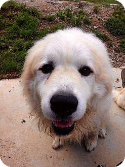 Great Pyrenees Dog for adoption in Coudersport, Pennsylvania - CASPER