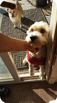 Cockapoo Dog for adoption in Hesperia, California - Skeeter