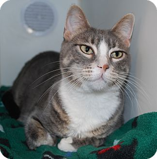 Domestic Shorthair Cat for adoption in Council Bluffs, Iowa - Ghost