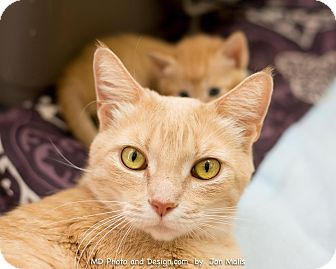 Domestic Shorthair Cat for adoption in Fountain Hills, Arizona - Fridley