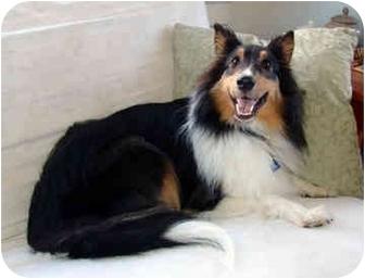 Sheltie, Shetland Sheepdog Dog for adoption in San Diego, California - Sophie