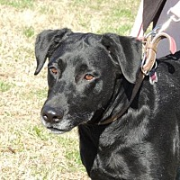 Labrador Retriever Dog for adoption in Norfolk, Virginia - STAR