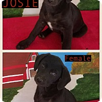 Adopt A Pet :: Josie-pending adoption - East Hartford, CT